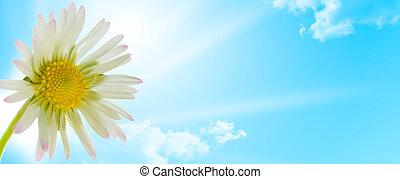 virág, eredet, százszorszép, tervezés, évad, virágos