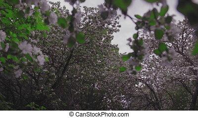virág fa, crabapple
