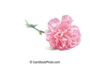 virág, fehér, szegfű, becsuk, frissesség, meglehetősen, háttér, elszigetelt
