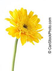 virág, gerbera, sárga, százszorszép