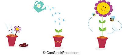 virág kert, napraforgó, -, növekedés, előad