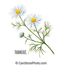 virág százszorszép, rügy, fehér, zöld