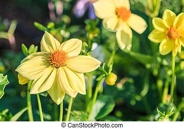 virág, színes, dália