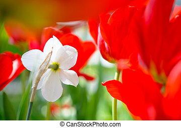 virág, tulipánok, mező, fényes, nárcisz, white piros
