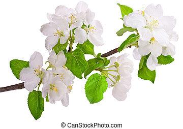 virágzás, apple-tree, elágazik