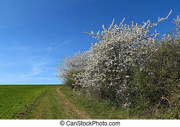 virágzás, gyümölcs, eredet, táj, fa., spring.
