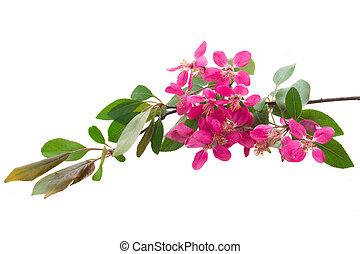 virágzás, menstruáció, rózsaszínű, fa