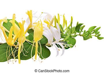 virágzás, white-yellow, honeysuckle(woodbine).isolated