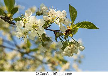 virágzó, cseresznye