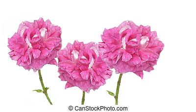 virágzó, fehér, elszigetelt, három, háttér, rózsaszínű rózsa
