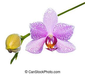 virágzó, fehér, orgona, orhidea, háttér, elszigetelt