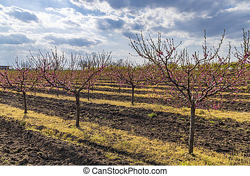 virágzó, köztársaság, valtice, morava, déli, cseh, gyümölcsöskert, őszibarack