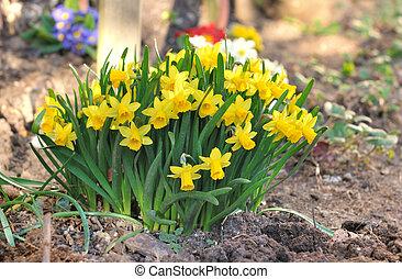 virágzó, nárciszok, sárga