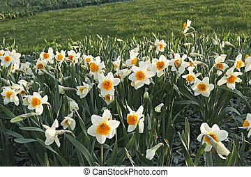 virágzó, nárciszok