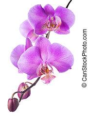 virágzó, orgona, orhidea, háttér, elszigetelt, fehér