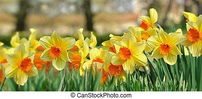 virágzó, panoráma, nárciszok, gyönyörű, kert