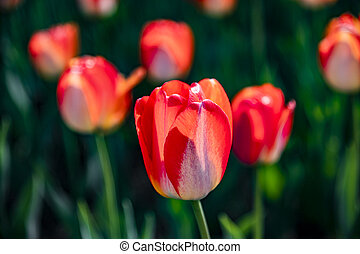 virágzó, tulipánok