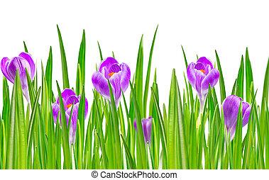 virágzó, visszaugrik virág, sáfrány