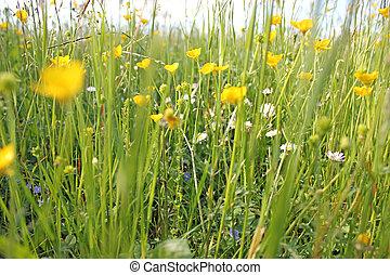 visszaugrik wildflower, napos, kaszáló, nap