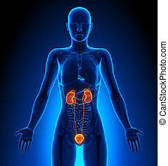 vizelési, emberi, -, rendszer, anatómia, női, hangerők