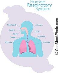 what's is, légzési, belső, emberi, rendszer