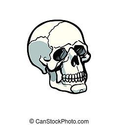 white háttér, koponya, emberi, elszigetelt