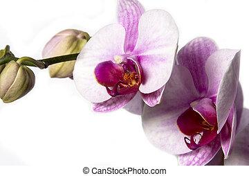 white háttér, orhidea