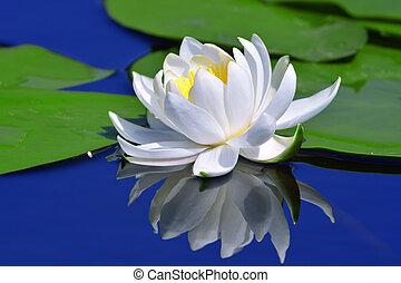 white liliom, tó