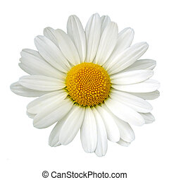 white százszorszép
