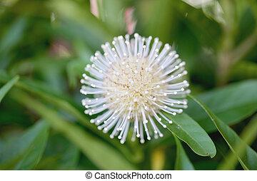white virág, blooming.