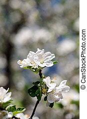 white virág, elágazik, virágzó