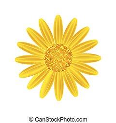 white virág, háttér, sárga, százszorszép