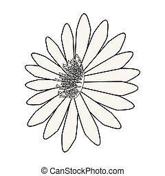 white virág, háttér, százszorszép