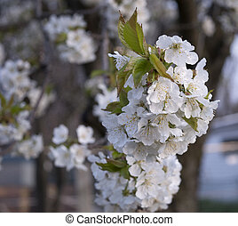 white virág, virágzó