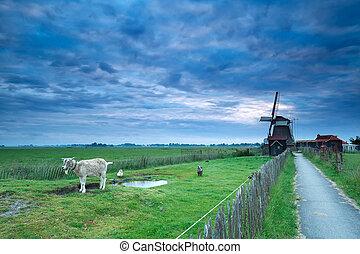 windmill megművel, felett, ég, reggel, holland, goat