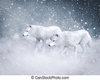 wolfs, két, snow., vakolás, méltóságteljes, fehér, 3