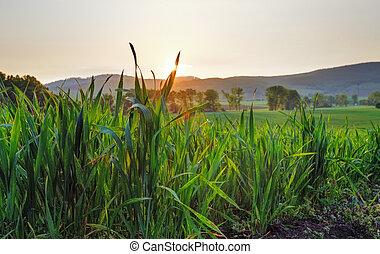 zöld búza, naplemente terep