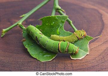 zöld férgek