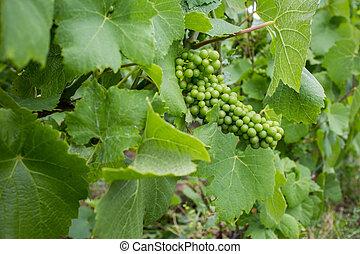 zöld kilépő, szőlő
