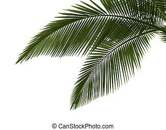 zöld, pálma, háttér, fehér