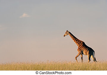 zsiráf, afrikai, lapályok